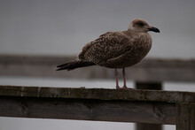 Closeup Of A Seagull Perched On A Wooden Railing