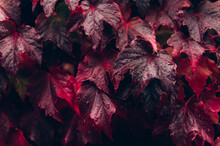 Bright Red Leaves Of Wild Grapes Or Ivy Leaves On Brick Wall. Fall Season, Autumn Background Concept