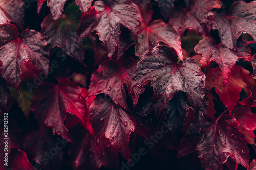 Bright red leaves of wild grapes or ivy leaves on brick wall Fototapeta