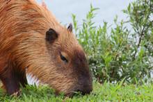 Closeup Of A Capybara (Hydrochoerus Hydrochaeris) Grazing On A Green Lawn At The Edge Of A Lake.
