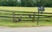 Two Turkey Await The Mail