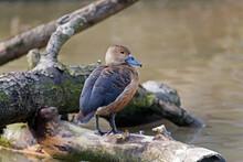 Lesser Whistling Duck, Dendroc...