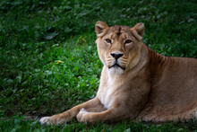 Wild Lioness On The Green Gra...