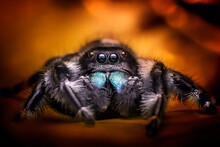Jumping Spider Species Phidippus Regius Male With Glowing Fire Background