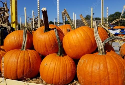 Canvastavla A pile of large orange pumpkin for decoration