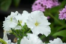 白いペチュニアは純粋で無垢な印象があります