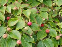 Cornus Kousa - Red Berries Of ...