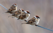 A Flock Of Sparrows On Electri...