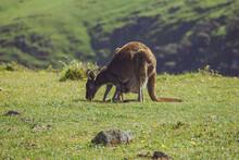 Kangaroo And Joey In Paddock
