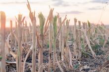 Cut Corn Stubble In Autumn Fie...