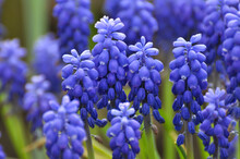 Muscari Blooms In The Flowerbed