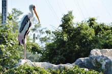 Painted Stork Bird Standing On...