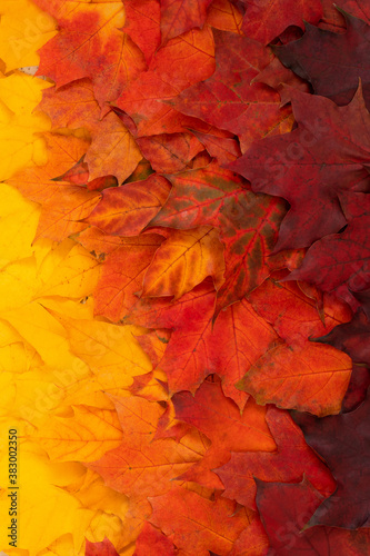 Fototapety pomarańczowe  autumn-foliage-with-gradient-top-view-of-red-orange-and-yellow-maple-leaves