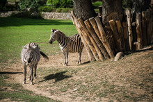 Three Zebras At The Zoo
