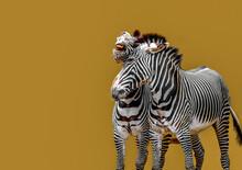 Two Zebras In Battle