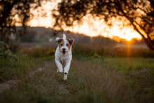Parson Russell Terrier Sunset ...