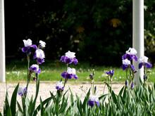 Iris Bicolores