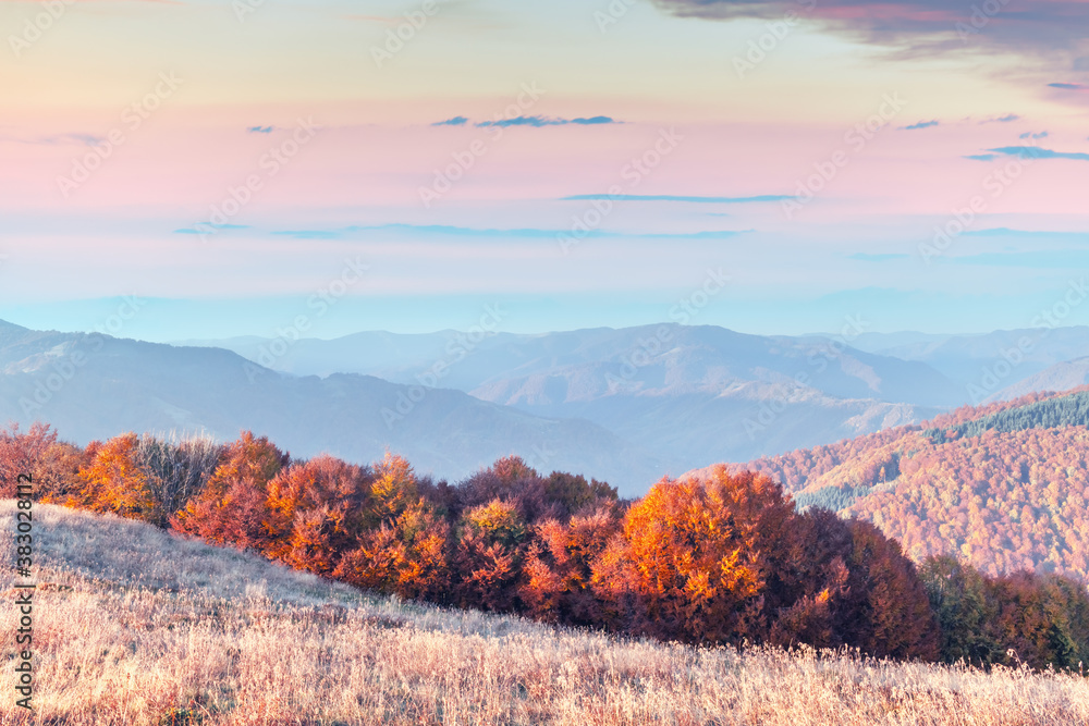 Fototapeta Picturesque autumn mountains with red beech forest in the Carpathian mountains, Ukraine. Landscape photography