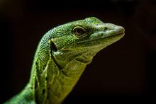 Emerald Monitor Lizard Portrait With Black Background
