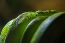 Green Python Snake In Nature P...