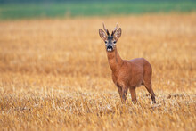 Roe Deer, Capreolus Capreolus, Standing On Stubble Field In Summertime Nature. Wild Mammal Looking To The Camera With Copy Space. Brown Animal Watching In Summer Environment.