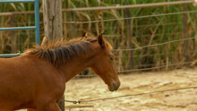 Brown Foal On Farm In The State Of Minas Gerais, Brazil