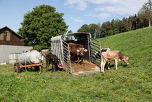 Open Cattle Transporter On A Green Field With Black And Brown Cows On The Field And Loading Ramp, Water Trough On A Trailer Left In The Picture, By Day, Without People