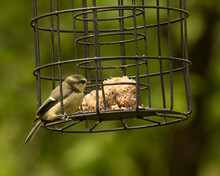 Young Blue Tit, Cyanistes Caeruleus,  Pecking At Suet Balls On Squirrel Proof Bird Feeder