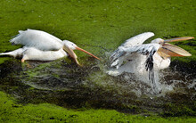 Closeup Of White Pelican (Pelecanus Onocrotalus) Playing On The Water, The Open Beak, Shaking Its Wings Creating Sprays Of Water