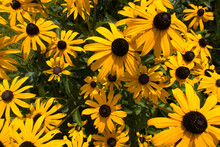 "Rudbeckia Fulgida ""Goldsturm"" (Black Eyed Susan) Flowers In Garden With Yellow Leafs."