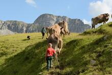 Kühe Und Kälber Auf Der Almweide
