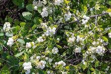White Symphoricarpos Berries On A Bush In The Garden.