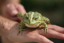 Green Frog In Hand. Close-up, ...