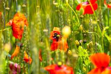 Poppy Field In The Heart Of Ge...