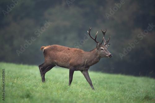 Red deer in wild nature Fototapet