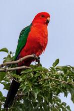 Male Australian King Parrot (A...