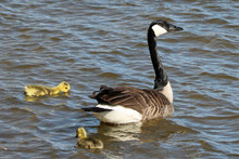 Canada Goose And Gosling Swimm...