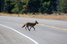 A Wild Coyote In Grand Teton N...