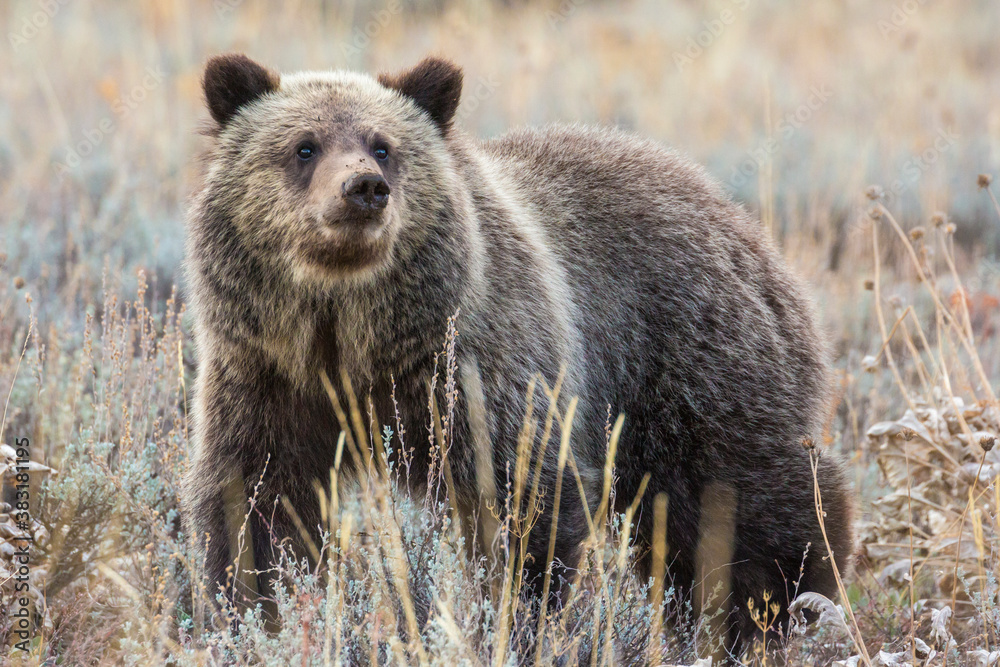 Fototapeta A wild grizzly bear cub belonging to the famous grizzly bear 399 grazing in a field in Grand Teton National Park (Wyoming).
