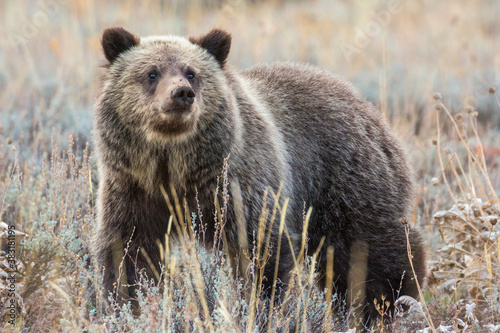 A wild grizzly bear cub belonging to the famous grizzly bear 399 grazing in a field in Grand Teton National Park (Wyoming) Fototapet