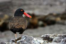 Blackish Oystercatcher (Haemat...