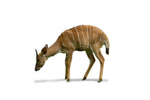 Isolated Image Deer With Horns Living In African Zoo And South Africa Animal White Background With Clipping Path