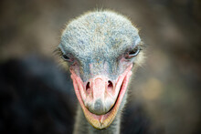 Ostrich Portrait Select Focus Head Is A Summer Animal In Africa Portrait Beautiful Painted On Blur Background