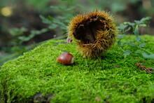 秋山の実り。栗と苔。...
