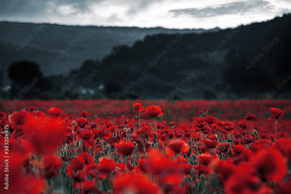 Fototapeta red poppies in the field. background imagery for remembrance or armistice day on 11 of november. dark clouds on the sky. selective color - obraz na płótnie