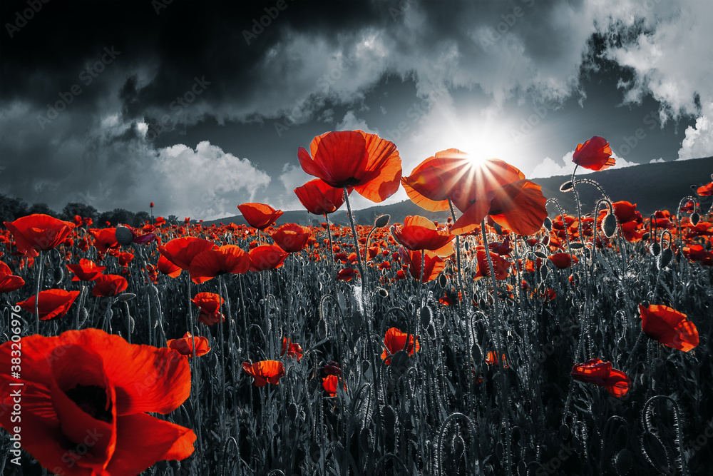 Fototapeta red poppies in the field. background imagery for remembrance or armistice day on 11 of november. dark clouds on the sky. selective color