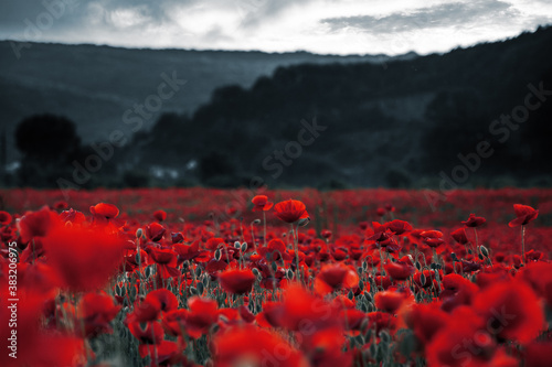 Fototapeta red poppies in the field. background imagery for remembrance or armistice day on 11 of november. dark clouds on the sky. selective color obraz na płótnie