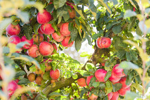 A Tree Full Of Natural Bio Apples In Warm Light - Autumn Agriculture Harvesting Time