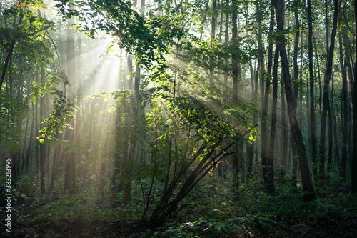 Obraz światło w lesie. Las bukowy - fototapety do salonu