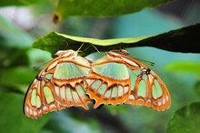Two Malachite Butterflies During Mating On A Leaf, Casa Mariposa, Panama